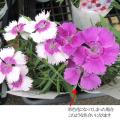 多年草・宿根草苗の販売店【花育通販】大輪なでしこ(ダイアンサス)・ダイアナシリーズ