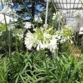 花苗・宿根・多年草の販売店【花育通販】アガパンサス・白花系の苗を販売
