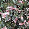リシマキアの苗を販売【花育通販】