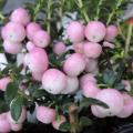 真珠の木(ペルネチア・ハッピーベリー)苗を販売【花育通販】