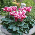 ガーデンシクラメン・ゴブレットの苗を販売【花育通販】 宿根草・多年草の販売店