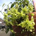 花の苗(多年草・宿根草)クレマチス苗の販売店常緑クレマチス・ペトリエイ