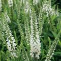 ベロニカ・ベイビーホワイトの苗【花育通販】宿根草多年草の販売店