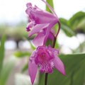 三蝶咲きシランの苗【花育通販】宿根草多年草の販売店