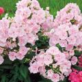 フロックスの苗【花育通販】宿根草多年草の販売店