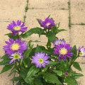 都わすれ「江戸紫」の苗木を販売【花育通販】