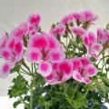 ペラルゴニウム・エンジェルアイズの苗を販売【花育通販】