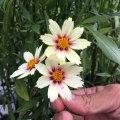 コレオプシス・ホワイトの苗を販売【花育通販】