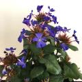 宿根・多年草の販売店【花育通販】ルリマツリモドキ・ブルーサファイアの苗を販売