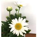 宿根・多年草の販売店【花育通販】浜菊(ハマギク)の苗を販売