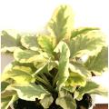 多年草(宿根草)「アジュガ・ライムグローの苗」を販売【花育通販】
