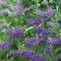 多年草(宿根草)「段菊(ダンギク)の苗(紫花)」を販売【花育通販】
