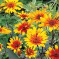 ヘリオプシス・バーニングハートの苗を販売【花育通販】
