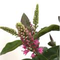 ヘーベ(トラノオノキ)・アステリズムの苗(赤花)を販売【花育通販】