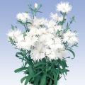 ダイアンサス (フリル咲きなでしこ)スープラ・ホワイト
