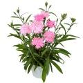 ダイアンサス (フリル咲きなでしこ)スープラ・ピンク