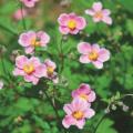 夏咲き秋名菊(シュウメイギク)の苗アーリーオータム