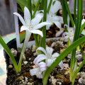 ポリキセナ・オドラータ(Polyxena odorata)の苗