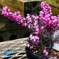 エリカ・ダーリエンシスの苗(ピンク花)