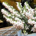 エリカ・ダーリエンシスの苗(白花)