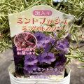斑入りミントブッシュ(プロスタンテラ)・ミラクルスターの苗