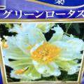 芍薬(シャクヤク) グリーンロータスの苗