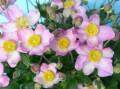 秋明菊(シュウメイギク)の苗 ウネメマツリ