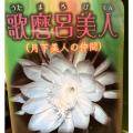 孔雀サボテン・歌麿呂美人(ウタマロビジン)