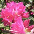 シャクナゲツツジ「ときめき」の鉢植えを販売【花育通販】