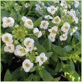 秋・冬・春の花苗(一年草)アリッサムを販売