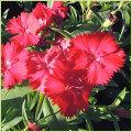 秋・冬・春の花苗(一年草)テルスター(なでしこ・ナデシコ)を販売