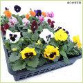 秋・冬・春の花苗(一年草)パンジーを販売