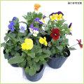 秋・冬・春の花苗(一年草)ビオラを販売