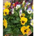 秋〜春の花苗(一年草)「パンジー・よく咲くスミレの苗」を販売【花育通販】