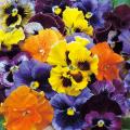 秋〜春の花苗(一年草)「パンジー・フリズルシズルの苗」を販売【花育通販】