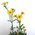 ウィンターコスモス・ゴールドラッシュの苗を販売【花育通販】