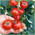 家庭菜園のミニトマト・トマト(とまと)苗の販売店