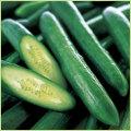 キュウリ(きゅうり)野菜苗を販売