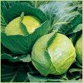 キャベツ・白菜・レタスなど家庭菜園用の野菜苗の販売店