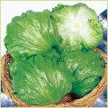 レタス等の家庭菜園用の野菜苗の販売店