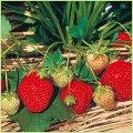 苺(イチゴ・いちご)苗の販売店
