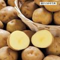 家庭菜園用のジャガイモ(じゃがいも)の種芋を販売