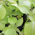 健康野菜苗の販売店「花育通販」えごまの苗を販売
