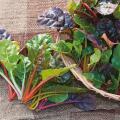家庭菜園野菜の販売店【花育通販】スイスチャードの苗を販売