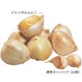 健康野菜販売店【花育通販】ジャンボにんにくの球根を販売