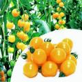 家庭菜園野菜苗の販売店【花育通販】トマトの苗を販売