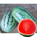 家庭菜園野菜苗の販売店【花育通販】黒部西瓜(すいか・スイカ)の苗を販売
