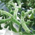 健康野菜苗の販売店【花育通販】アイスプラントの苗を販売