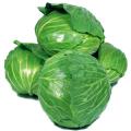 キャベツ(きゃべつ)の苗を販売【花育通販】秋野菜の販売店