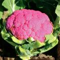 カリフラワーの苗を販売【花育通販】家庭菜園野菜苗の販売店
